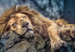 Sleeping Lion, 1000 brikker (2)